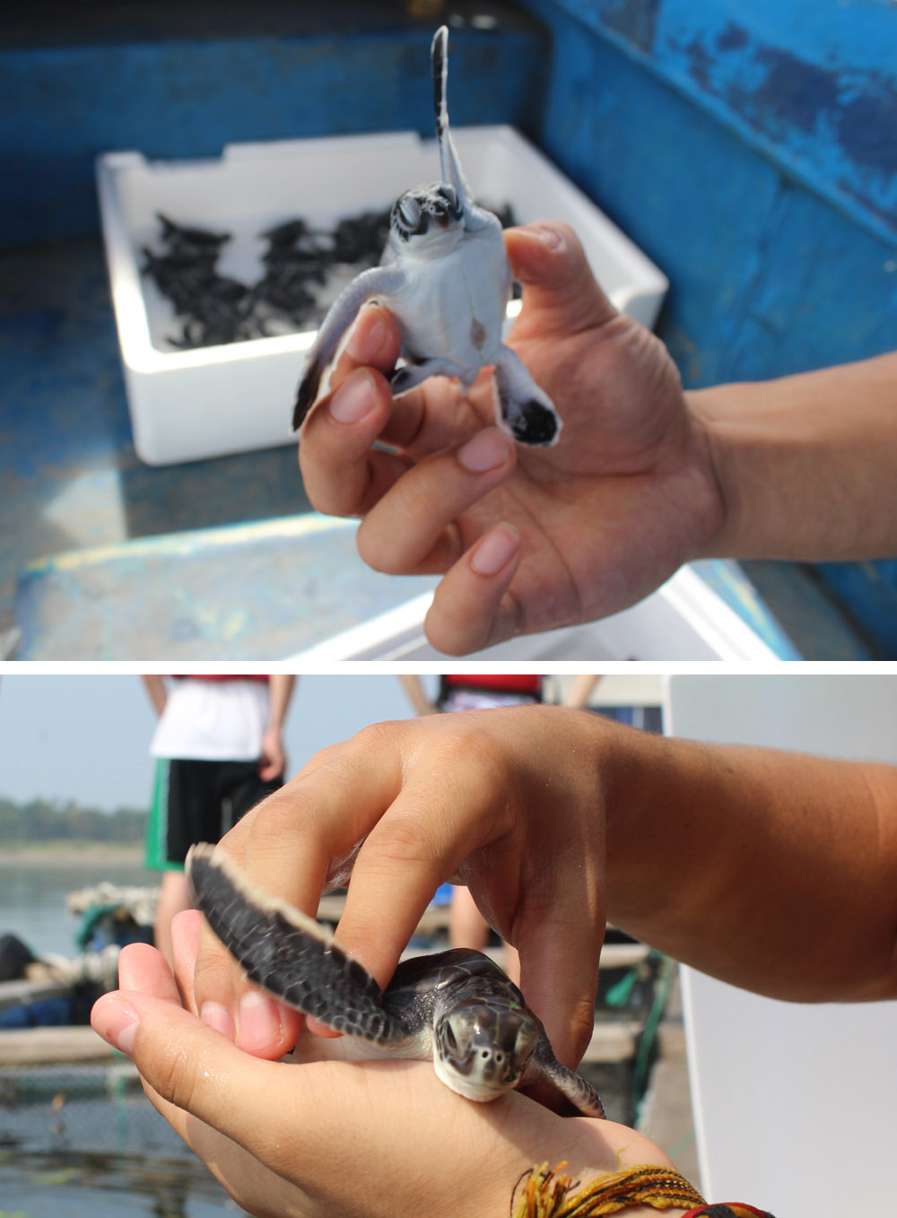 adopt baby sea turtle hatchling