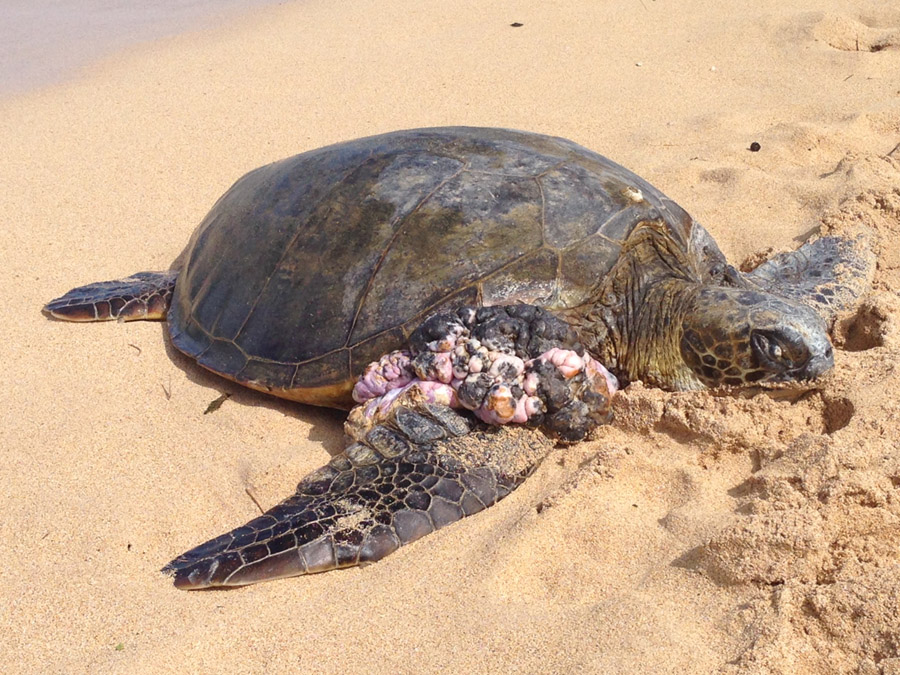 adopt sea turtle with tumors