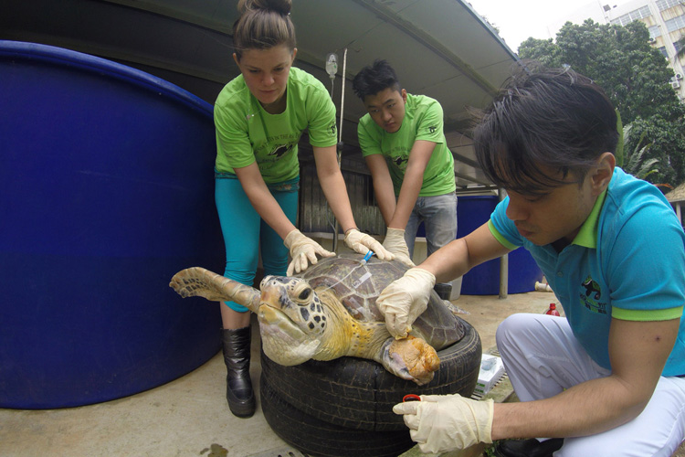 Volunteer interns helping sea turtle amputee