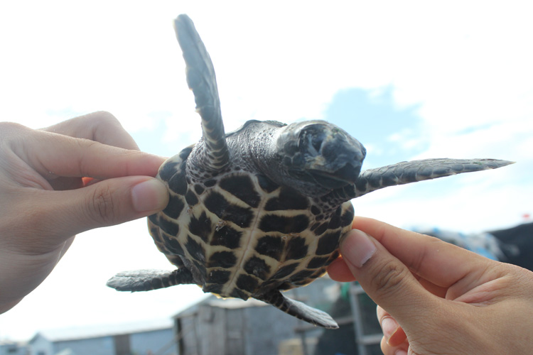 hawksbill hatchling with damaged beak
