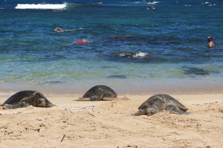 Hawaii basking sea turtle with surfers and swimmers in background
