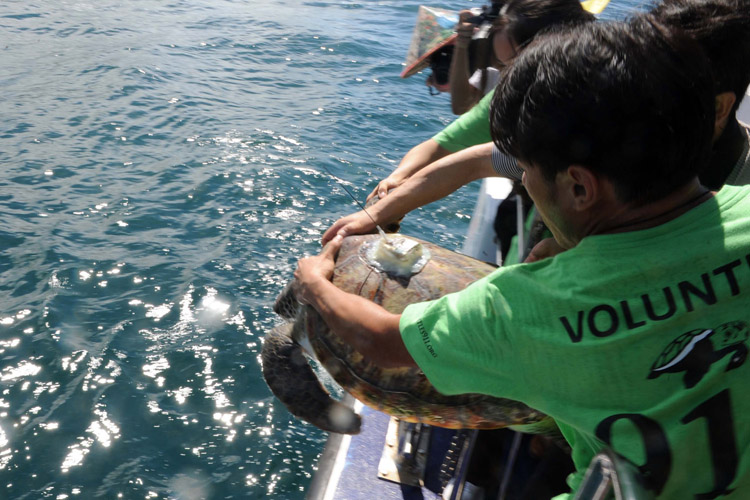Releasing turtle with satellite tag from boat