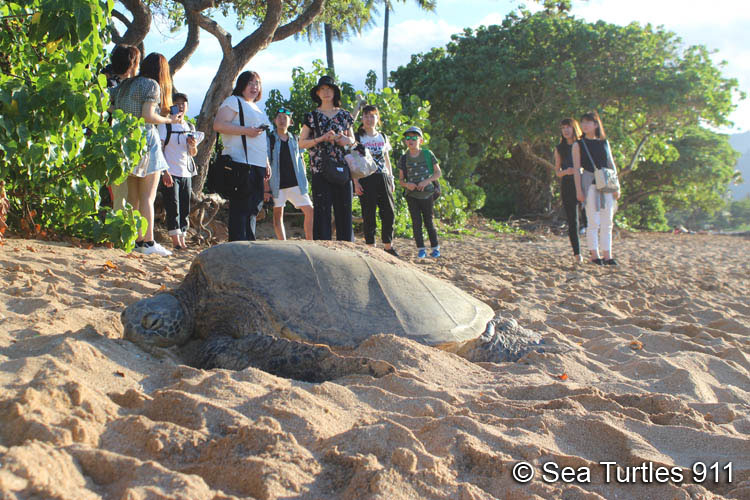 Hawaii tour of beach with basking turtles