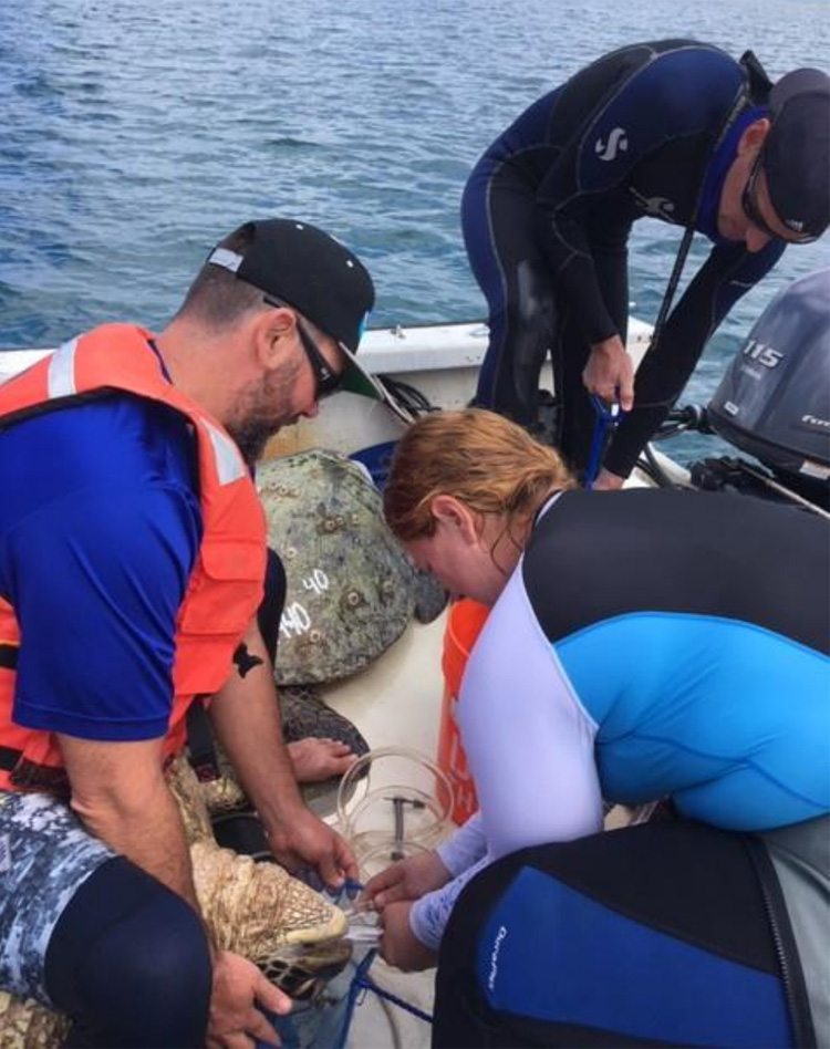 Flushing turtle stomach contents out for diet analysis