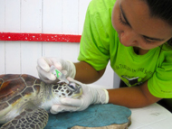 Antibiotic eyedrops for sea turtle