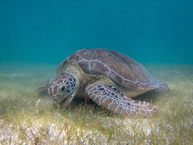 Foraging green sea turtle diet