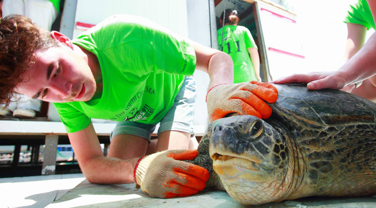 Student intern examines sea turtle