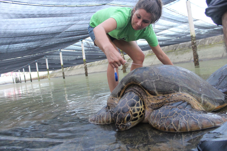 Student intern measures sea turtle