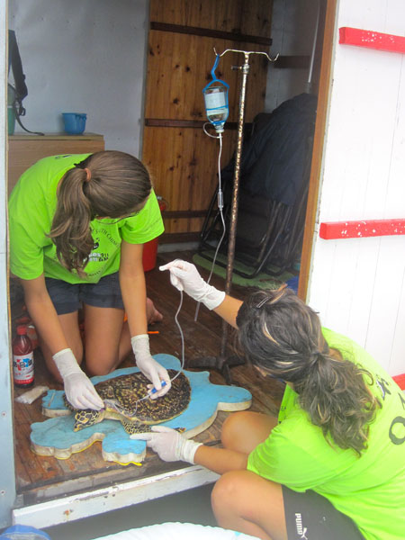 Interns giving fluid therapy to a sea turtle