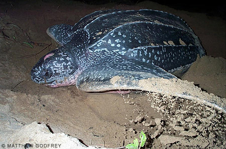 Leatherback sea turtle pictures in the water - photo#24