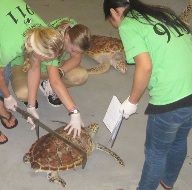 Measuring sea turtle for conservation research