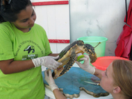 Interns scrubbing barnacles off sea turtle