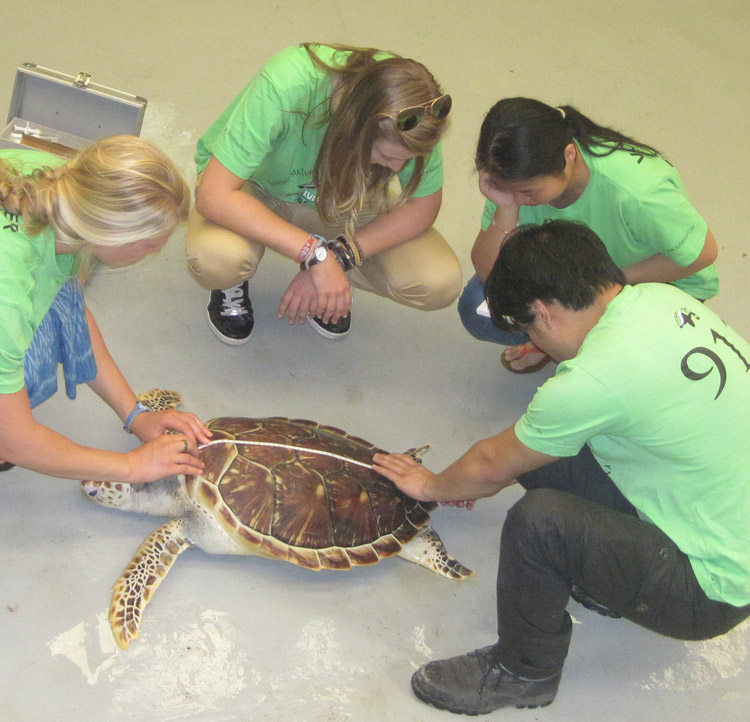 Students measuring sea turtle