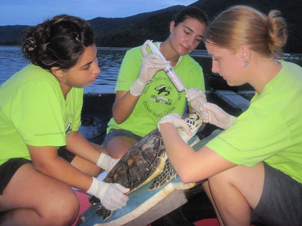 Interns tubefeeding sea turtle