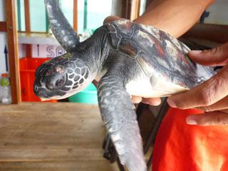 Sea Turtle Patient