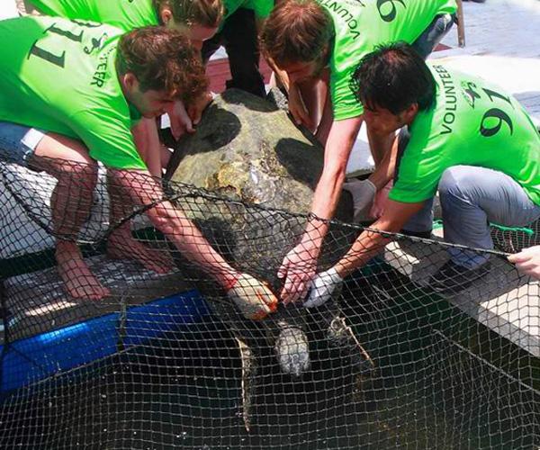 Volunteers untangling sea turtle from fishing net