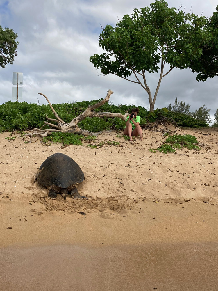 volunteer takes photos of wild sea turtle at a beach in Hawaii